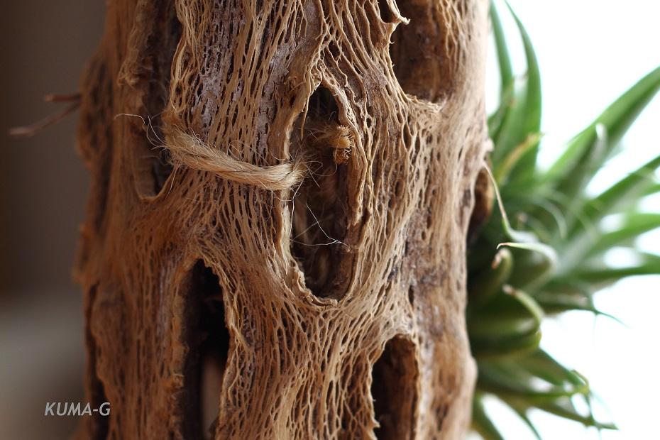 Tillandsia ionantha var. maxima
