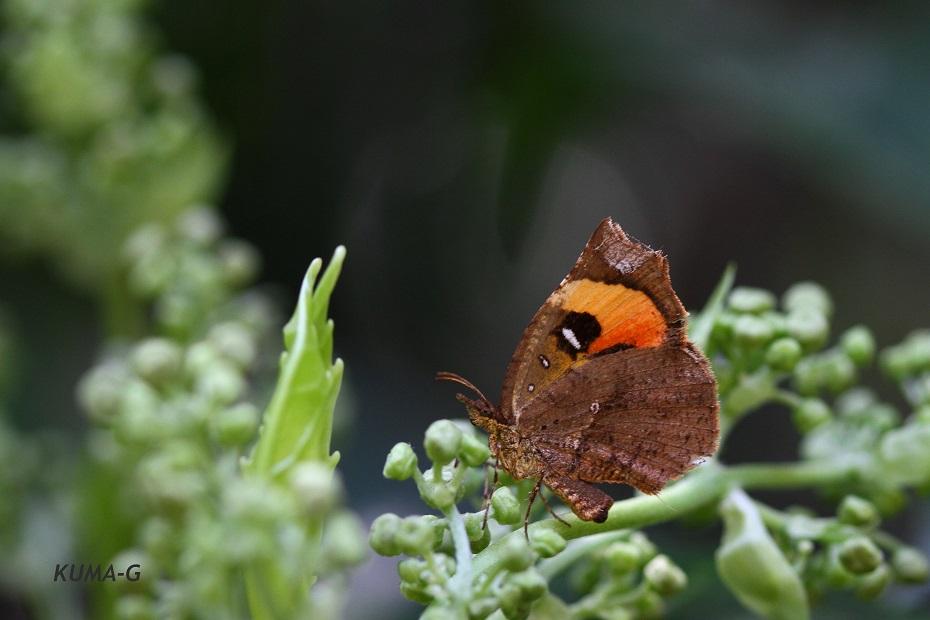 Pterodecta felder