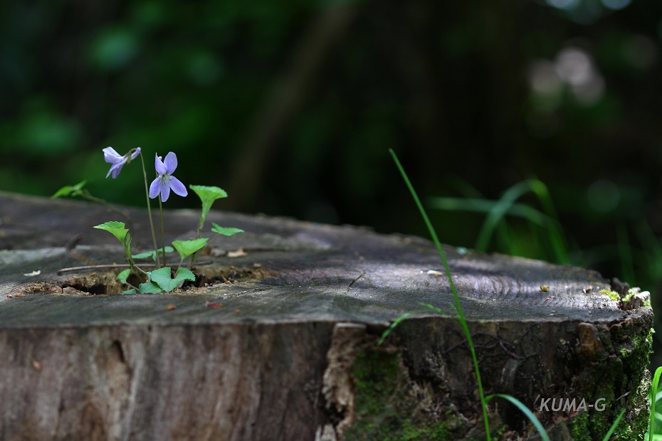 Viola grypoceras