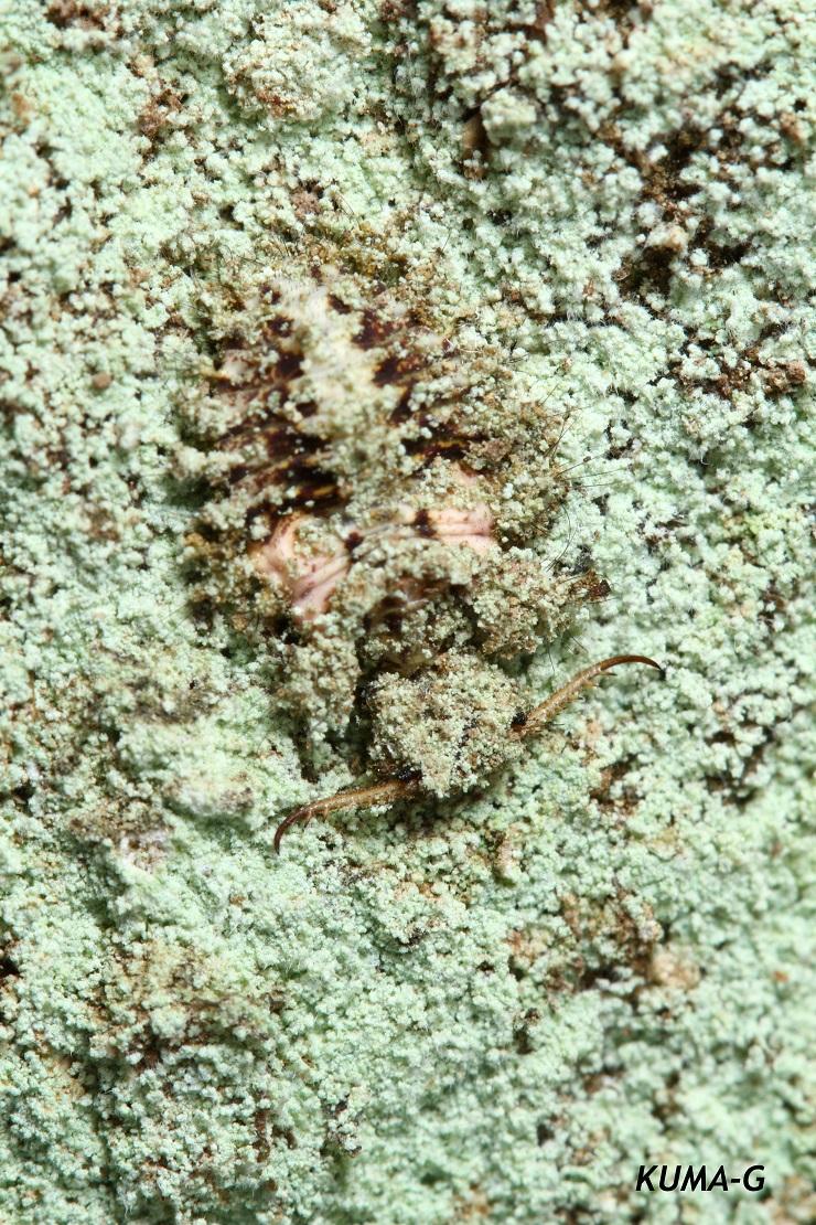 Dendroleon jezoensis