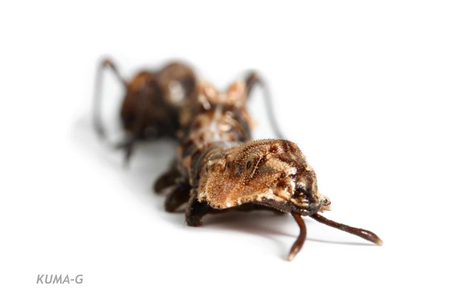 Stauropus fagi persimilis