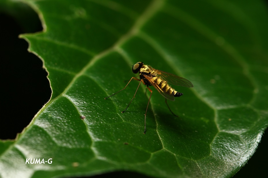 Chrysopilus ditissimis