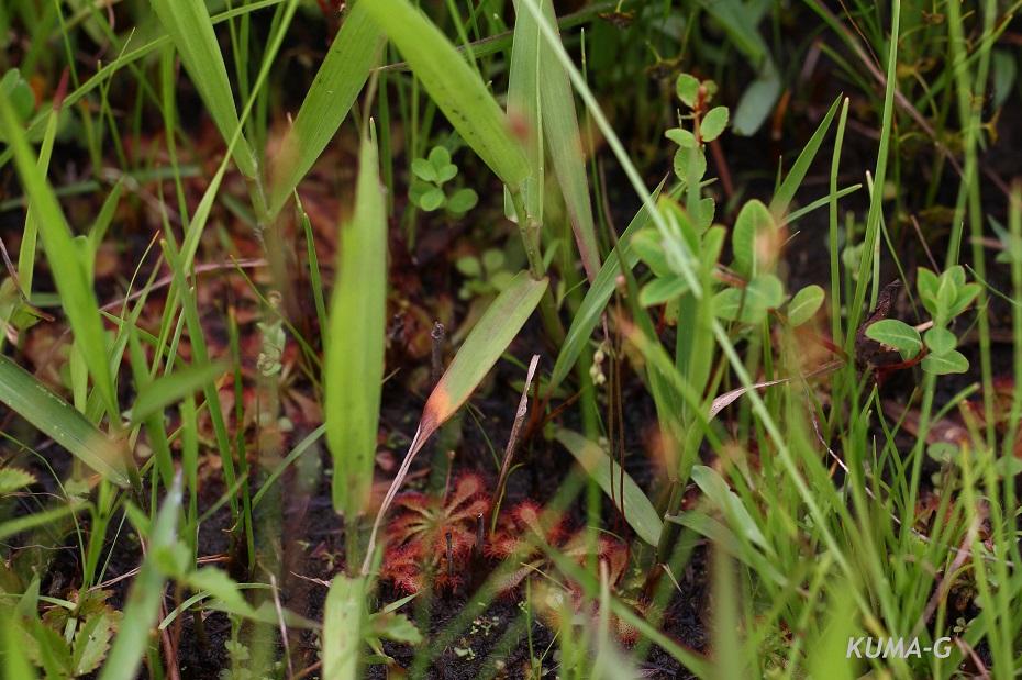Drosera spathulata Labill.