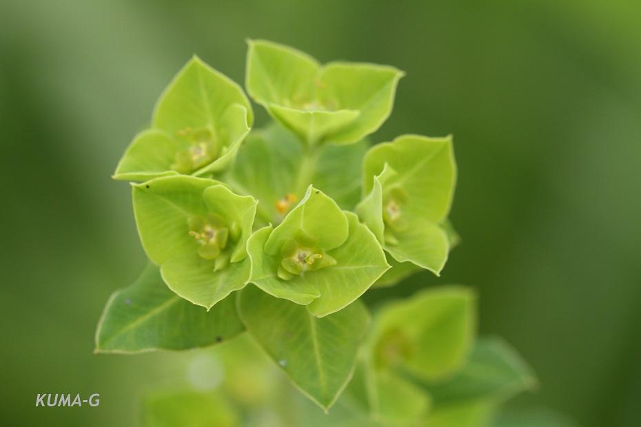 Euphorbia pekinensis Rupr.