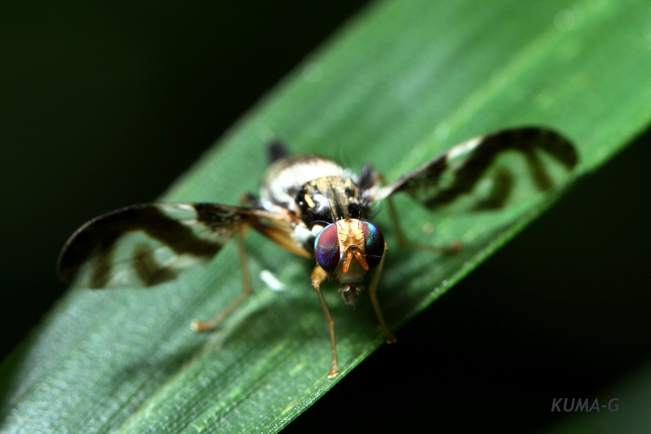 Proanoplomus japonicus