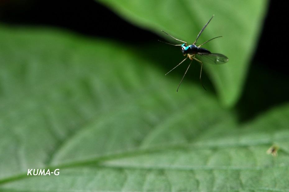 Dolichopodidae sp.