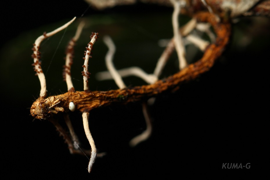 Ophiocordyceps sp.