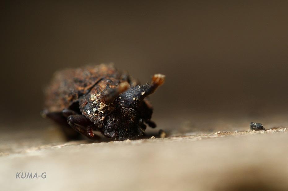 Boletoxenus bellicosus