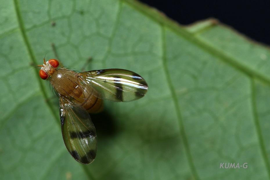 Homoneura hirayamae