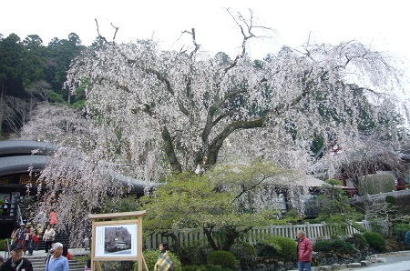 久遠時 樹齢400年