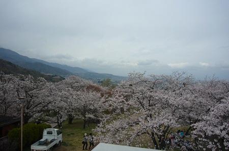 大法師公園桜