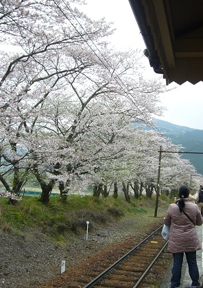 家山線路の桜