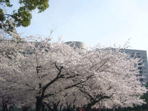 明大病院と桜 朝