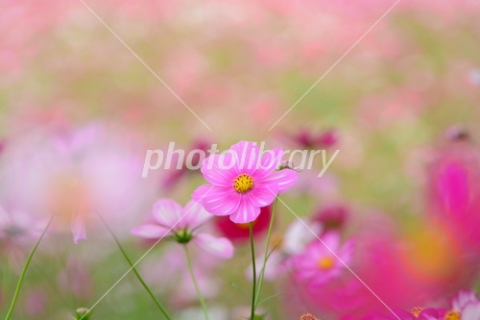 3379432 濃いピンクのコスモス