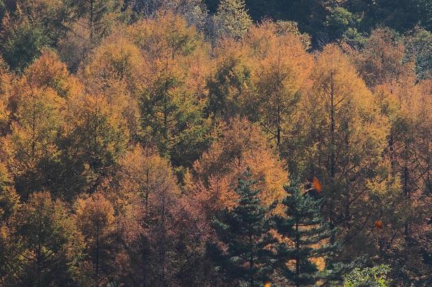 落葉針葉樹の紅葉・・・油絵のようだ・・