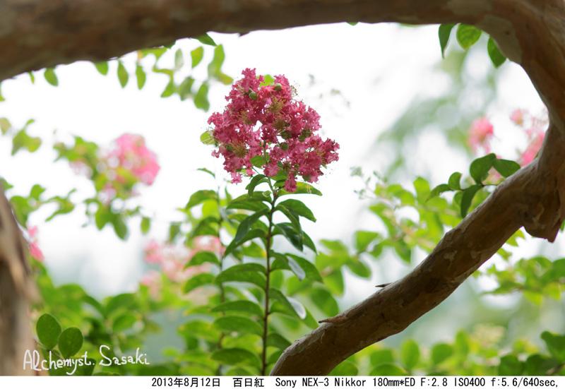 8月の百日紅DSC09403