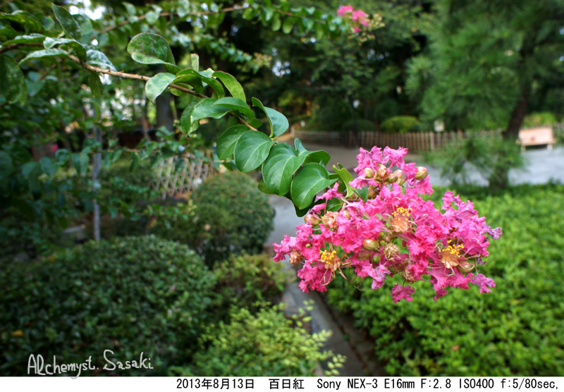 8月の百日紅DSC09515a