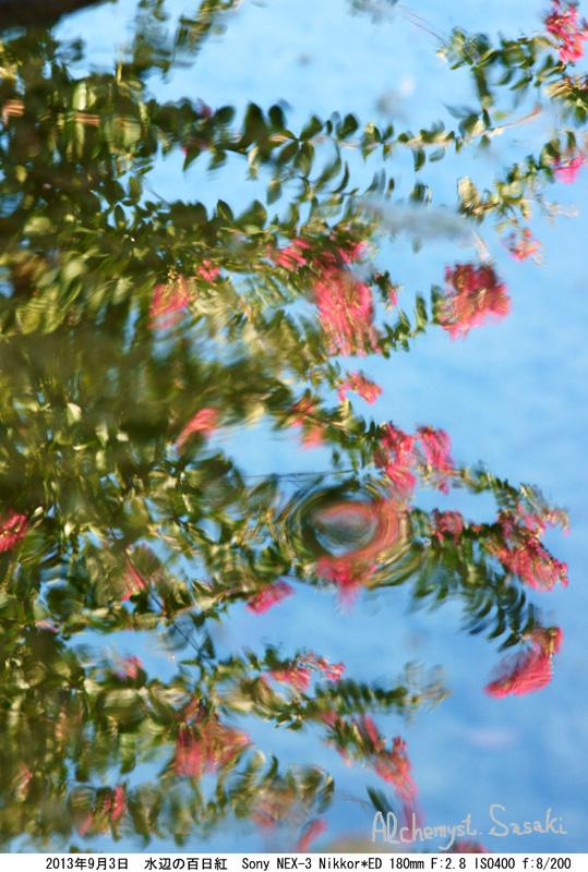 水辺の百日紅DSC00619