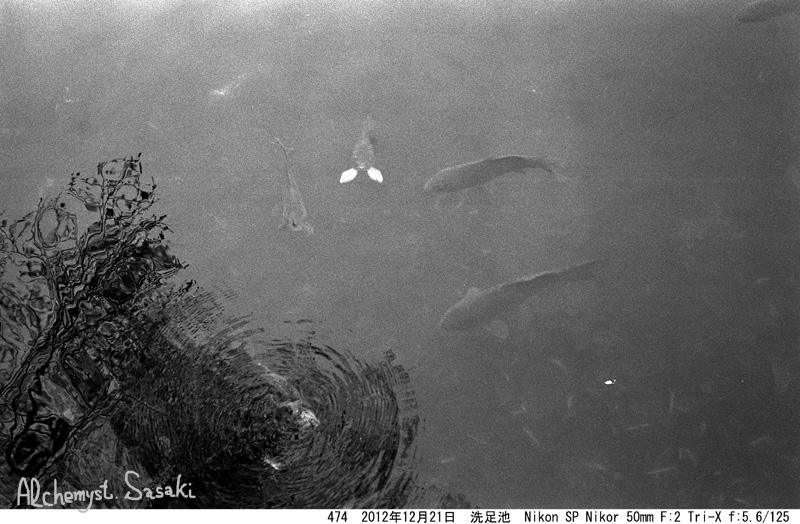 洗足池の鯉(1)474-11