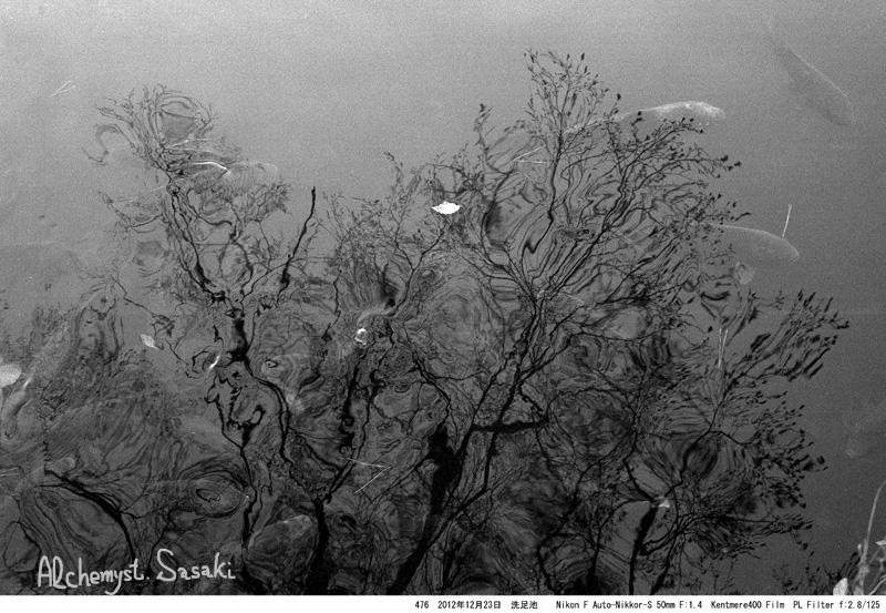 洗足池の鯉476-4