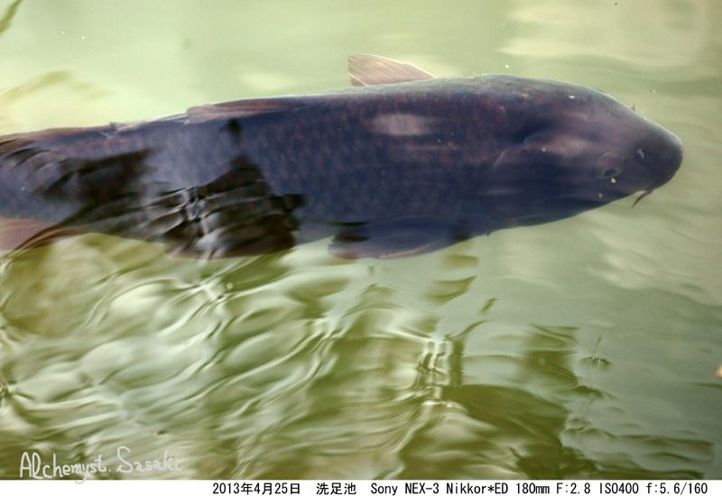 洗足池の鯉DSC06047