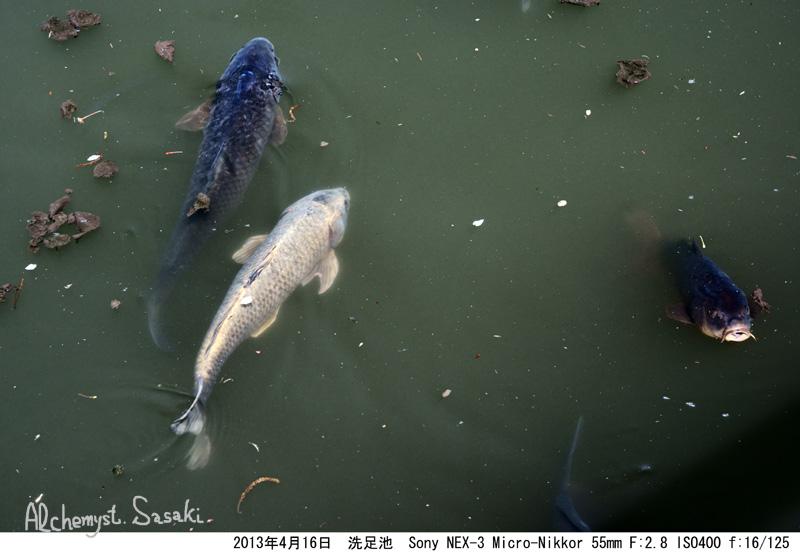 洗足池の鯉DSC05846