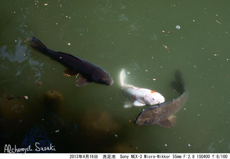 洗足池の鯉DSC05939