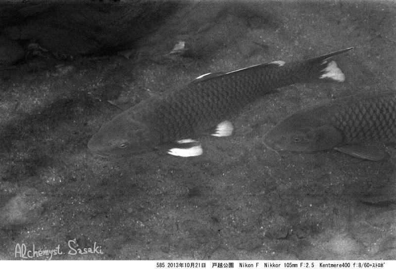 戸越公園の鯉585-1