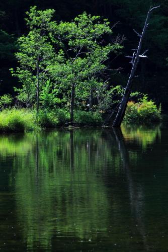 光る木、明神池にて