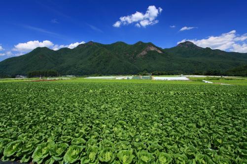 キャベツ畑と川上村の山々