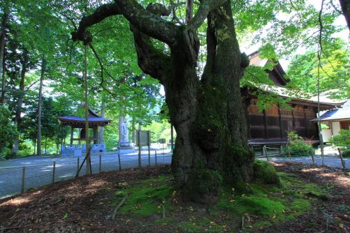 重要文化財の雲峰寺の本堂と樹齢800年のエドヒガン