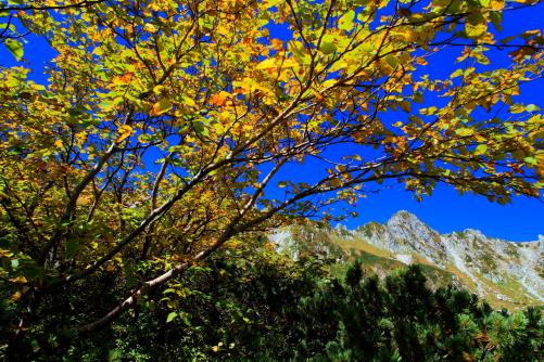 黄葉のダケカンバと宝剣岳