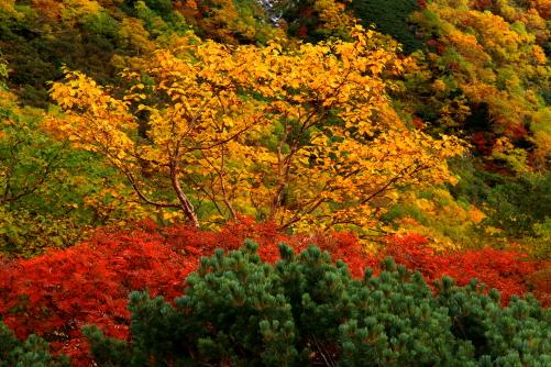 ダカンバの黄葉とナナカマドの紅葉、ハイマツの緑色
