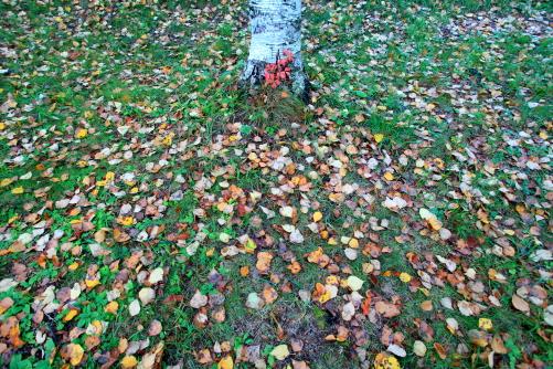 シラカバの林床に落ち葉