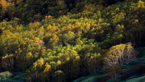 シラカバとダケカンバの森林