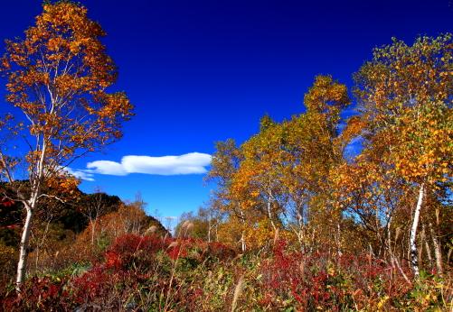 シラカバとツツジの紅葉