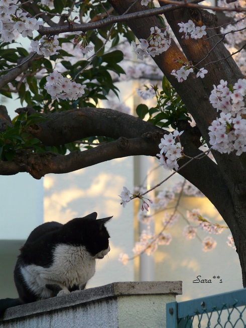 P1110970 bu20 2013桜