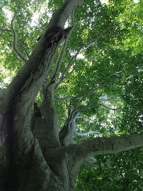 大きなブナの木480