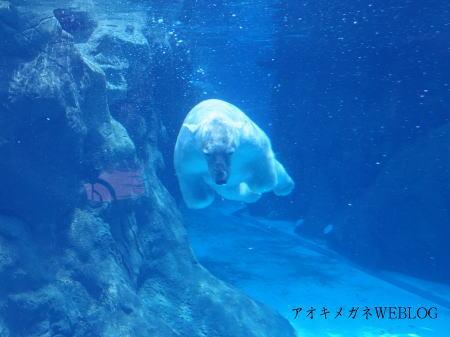 白くまが泳ぐ