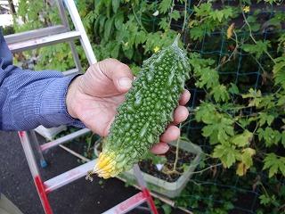緑ゴーヤ収穫