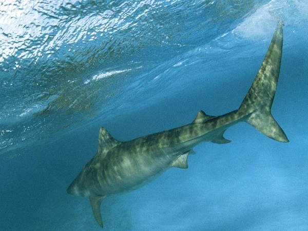 tiger-shark-underwater.jpg