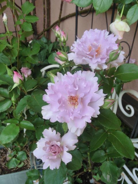 20130519SHOP Rose (31)