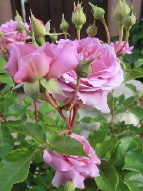 20130519SHOP Rose (27)