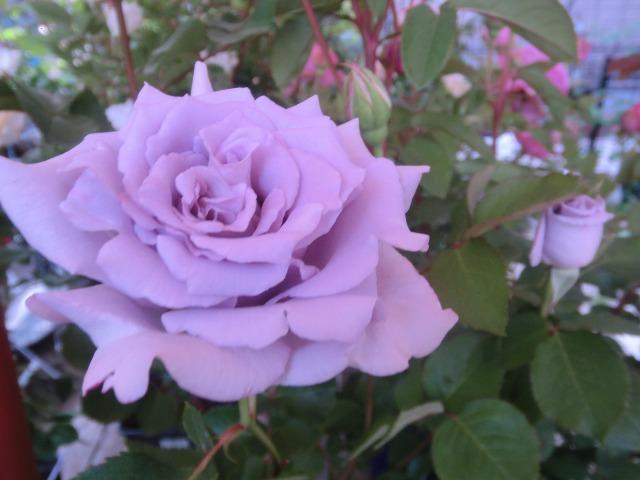 20130519SHOP Rose (26)
