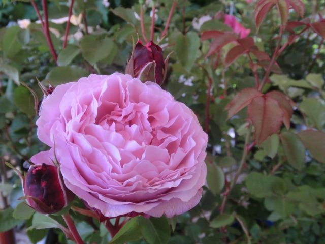 20130519SHOP Rose (25)