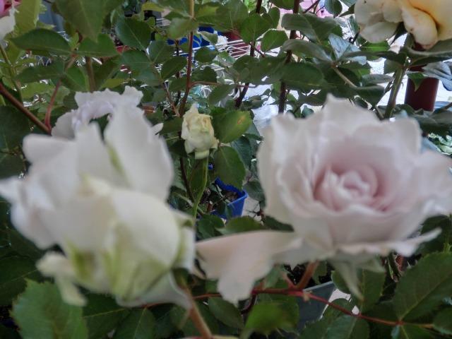 20130519SHOP Rose (24)