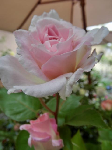 20130519SHOP Rose (23)