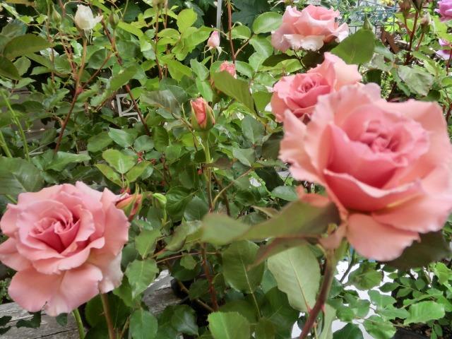20130519SHOP Rose (22)