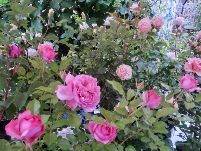 20130519SHOP Rose (21)