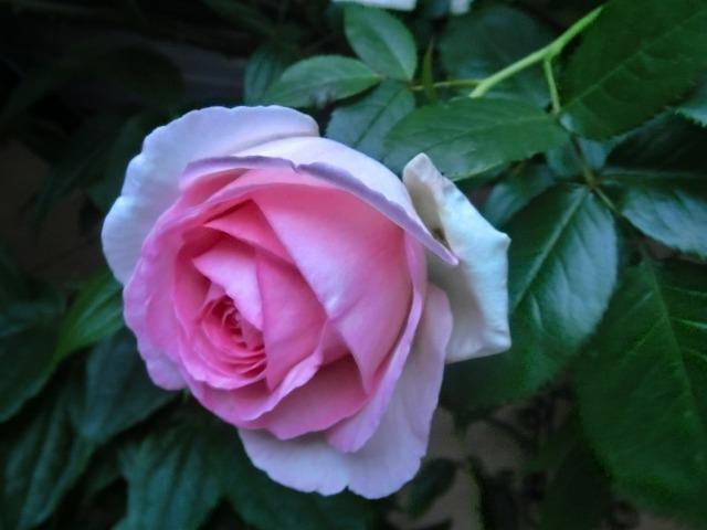 20130519SHOP Rose (10)